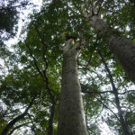 twin kauri at Sudarshanaloka