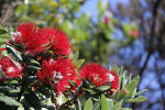 New Zealand Christmas tree in bloom