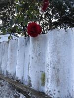 Wabi sabi fence and rose