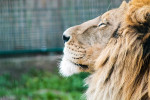 Lion with his eyes closed and head raised majestically to the sky