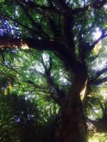 Puriri tree